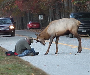 Elk And Photographer Stand Off