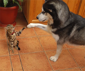 Super Friendly Husky Wants to Play with a Nervous Kitty
